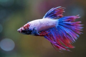Betta splendens white and purple