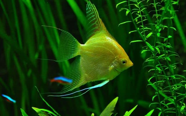 Angel fish and neon tetras in planted fish tank