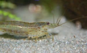 Amano Shrimp care