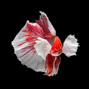Dumbo betta fish male