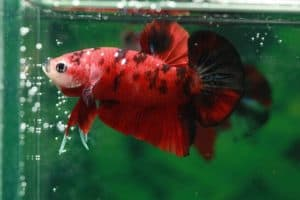 red betta fish with black spots