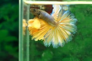 yellow betta fish displaying