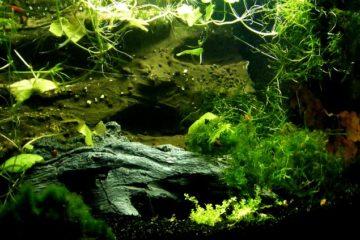 Aquarium Shrimp – ZenAquaria