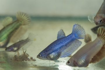 Foods for baby betta fish and aquarium fish fry.