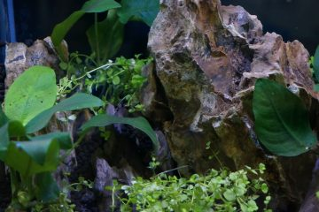 Best plants for betta fish