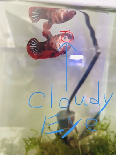 Sick betta fish with cloudy bulging eye.