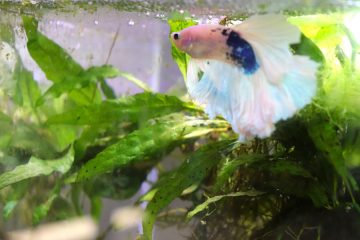Betta Fish in Planted Tank