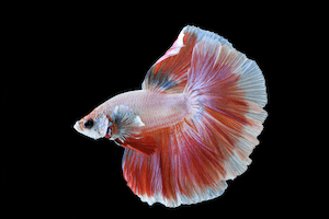 Pink and white male betta fish