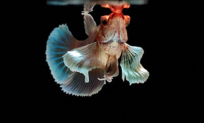Blind betta fish.