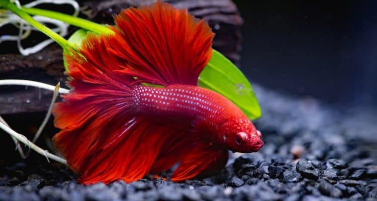 Red male betta fish at bottom of tank.