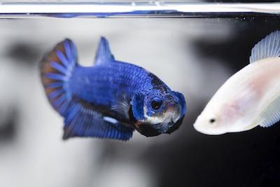 Blue betta fish male flaring at female betta fish.