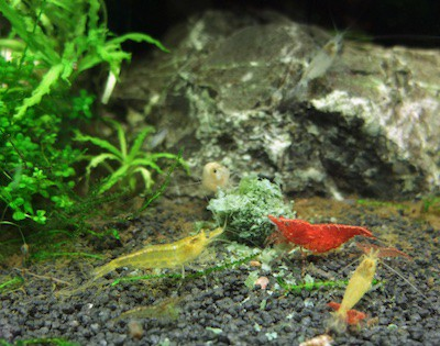 Red cherry shrimp and yellow cherry shrimp feeding in a planted tank.