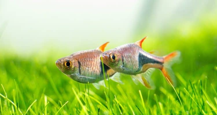 Best Fish For A 5 Gallon Tank And Small Tank Benefits Zenaquaria