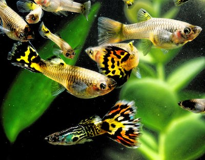 Male and female guppies in a planted tank.
