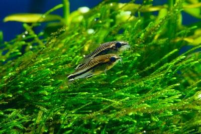 Pygmy corydoras or dwarf cory catfish sitting on java moss.