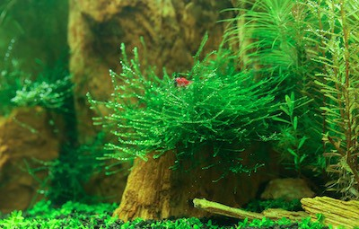 Cherry shrimp in a planted nano tank.