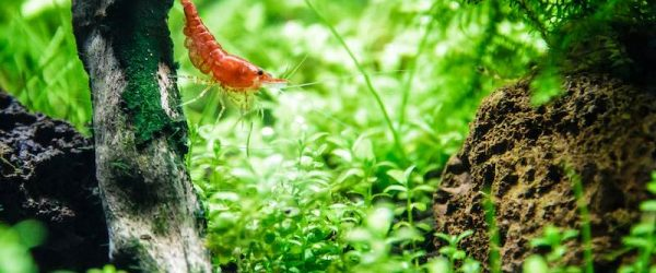 Cherry shrimp in a planted tank.