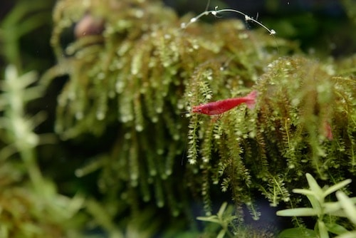 A cherry shrimp sitting on weeping moss in an aquarium.