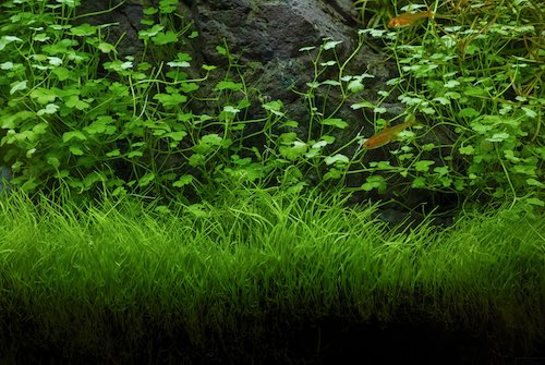 Hydrocotyle tripartita in an aquascape.
