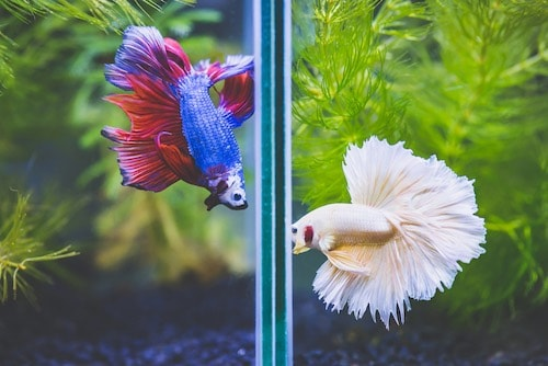 Two male betta fish flaring at each other in planted nano tanks.