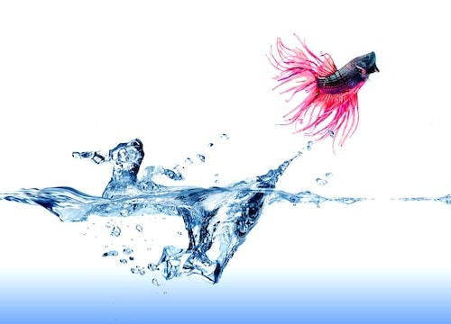 Betta fish performing trick by jumping out of water.