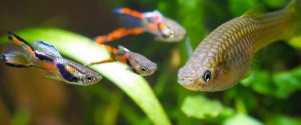 Endler males surrounding a female in a planted tank.