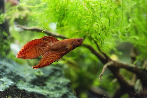 Red betta fish in a planted tank.