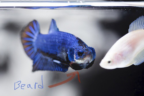Male betta fish flaring with beard visible.