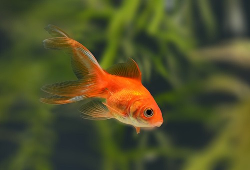 Goldfish in a planted tank.
