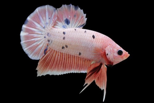Male plakat betta fish.