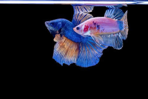 Female and male halfmoon betta fish flaring at each other.