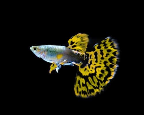 Male guppy fish with yellow tail.