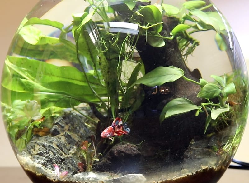 Betta Bowl Setup Step By Step With Live Plants Zenaquaria