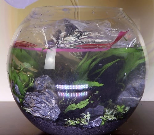 Filling betta bowl with water.