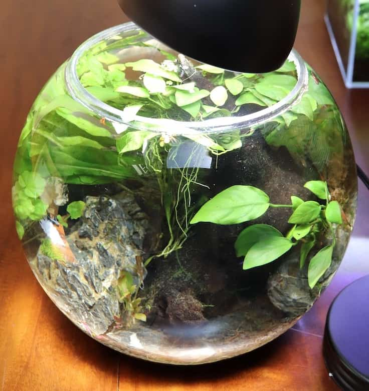 Betta fish bowl with live plants.