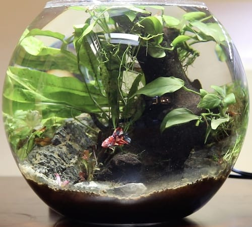 Betta fish in a bowl with plants.
