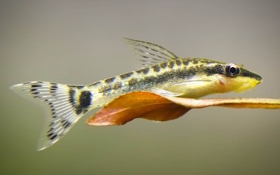 Otocinclus fish.