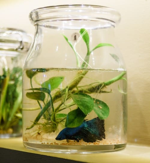 Betta fish in a jar with plants.