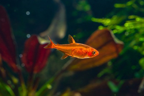 Ember tetra in a planted tank.