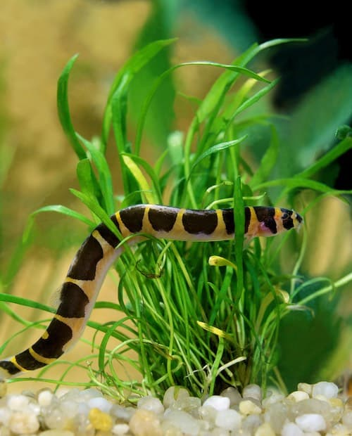 Kuhli loach in planted tank.