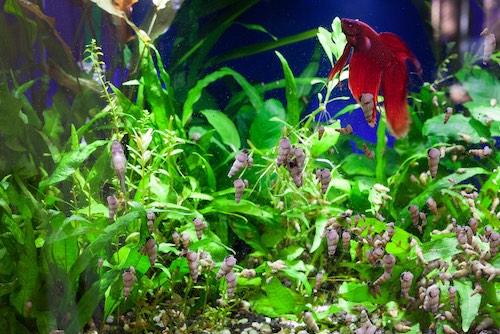 Malaysian trumpet snails in betta fish tank.