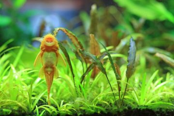 Albino bushynose catfish in planted tank.
