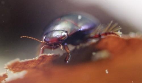 Predaceous diving beetle (Dytiscidae)