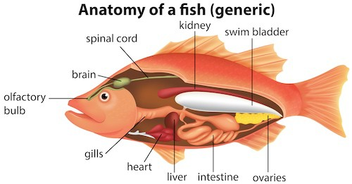Anatomy of fish; swim bladder location.