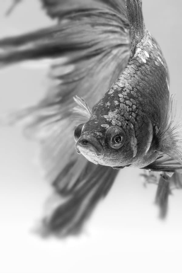 Sick betta fish.